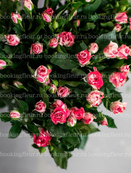 Кустовая роза Fireworks
