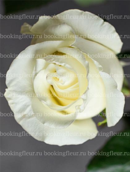 Классическая роза First Ledy