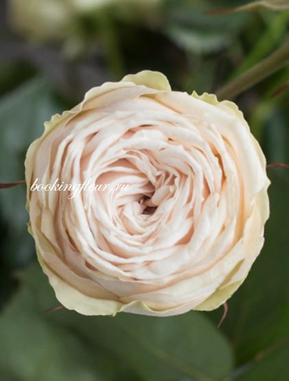 Кустовая роза Galina