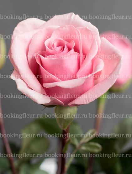 Классическая роза Geraldine