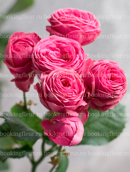 Кустовая роза Giselle
