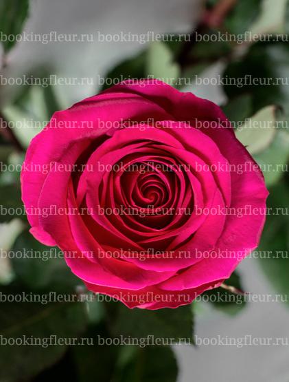 Классическая роза Gotcha