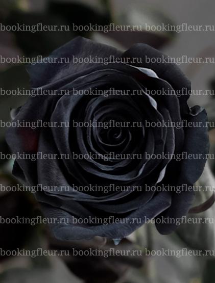 Классическая роза Gothic