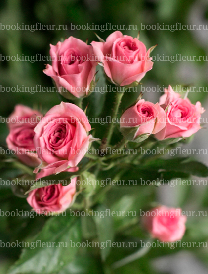 Кустовая роза Gracia