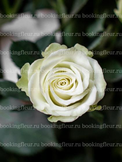 Кустовая роза Green Glow