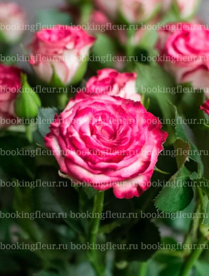 Кустовая роза Haley