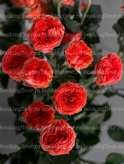 Кустовая роза Hero