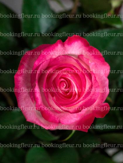 Классическая роза High & Candy