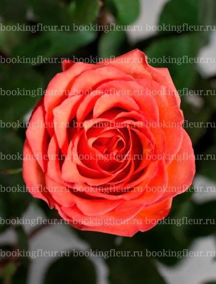 Классическая роза High & Orange Magic