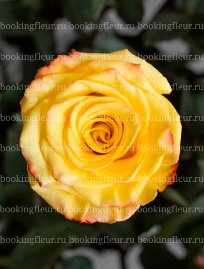 Классическая роза High & Yellow Flame