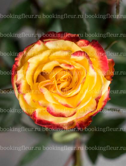 Классическая роза High & Yellow Magic
