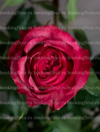 Классическая роза Hot Carpe Diem