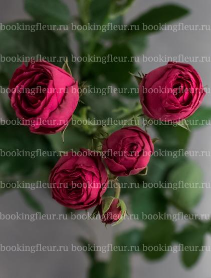 Кустовая роза Hot Pink Lace