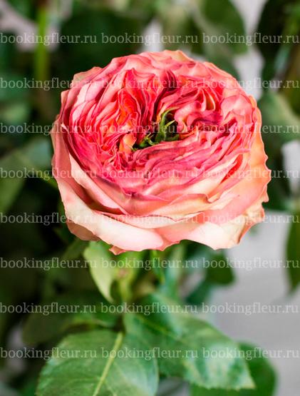 Пионовидная роза Houdini