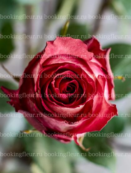Классическая роза Iguazu