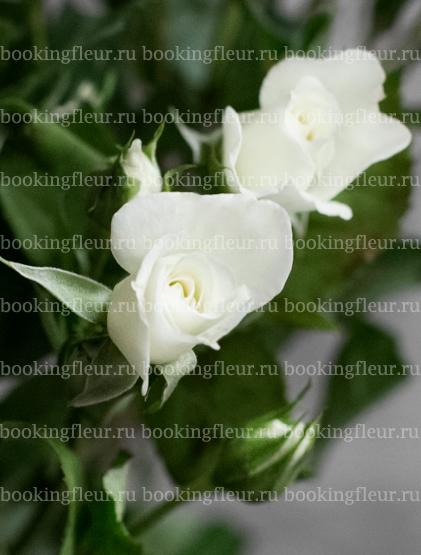Кустовая роза Jeanine