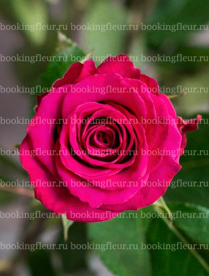 Классическая роза Jockey