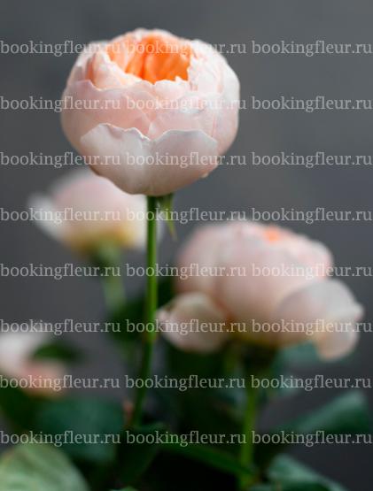 Пионовидная роза David Austin Juliet