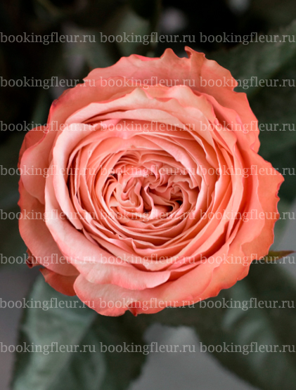 Классическая роза Kahala