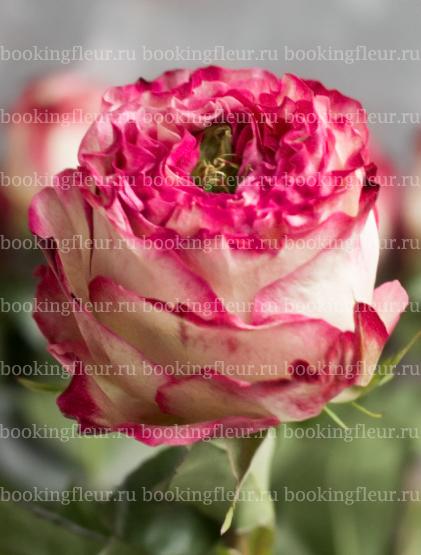 Пионовидная роза Karen