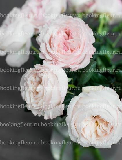 Пионовидная роза David Austin Keira