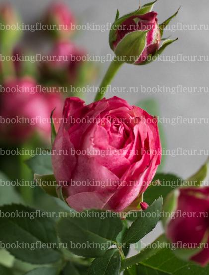 Кустовая роза King Arthur
