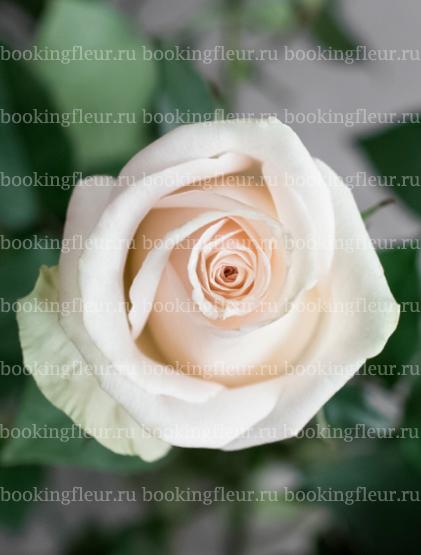 Классическая роза La Perla