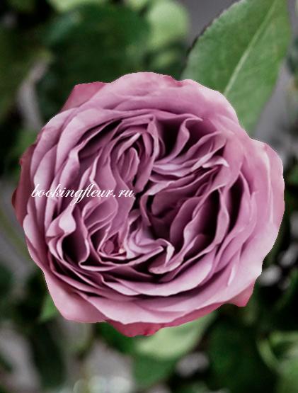 Пионовидная роза Lavender Bouquet
