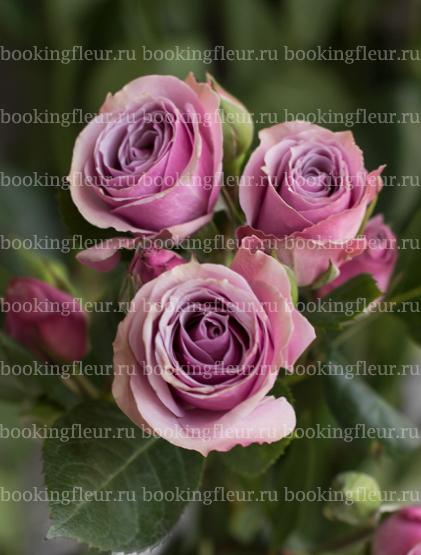 Кустовая роза Lavender Irishka