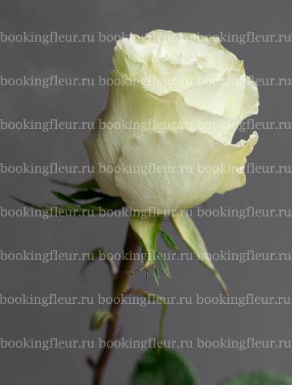 Классическая роза Lemonade