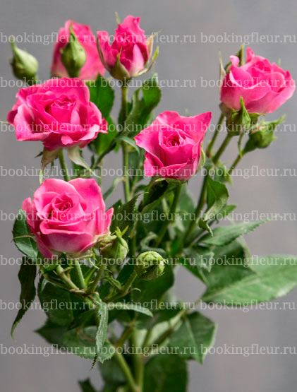 Кустовая роза Liane