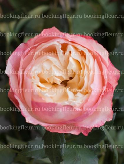 Пионовидная роза Loved One