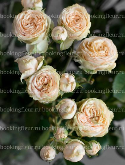 Кустовая роза Lovely Yo-yo
