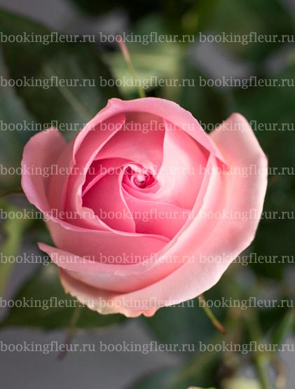 Классическая роза Luciano