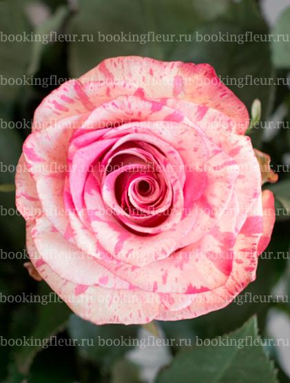 Классическая роза Magic Times