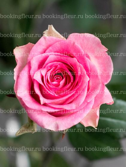 Классическая роза Maliby