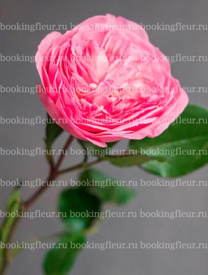 Пионовидная роза Maria Theresia