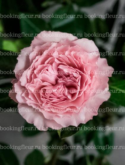 Пионовидная роза Mayra's Rose