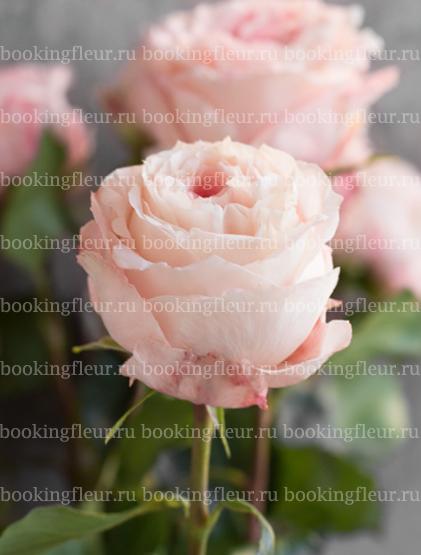 Пионовидная роза Mayra's Bridal Pink