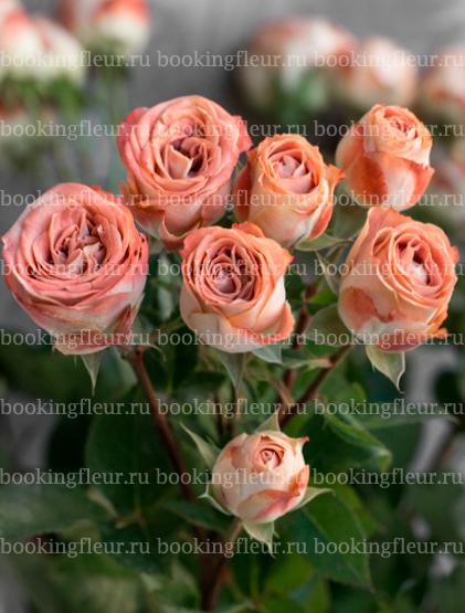 Кустовая роза Media