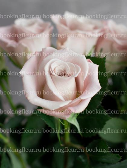 Классическая роза Menta