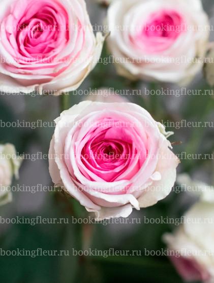 Кустовая роза Mimi Eden