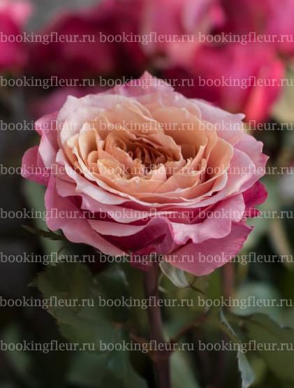 Пионовидная роза Miyabi