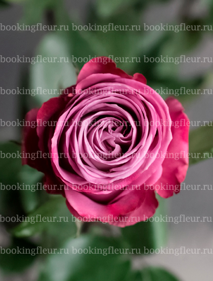 Классическая роза Mody Blues