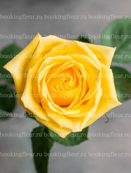 Классическая роза Mohana