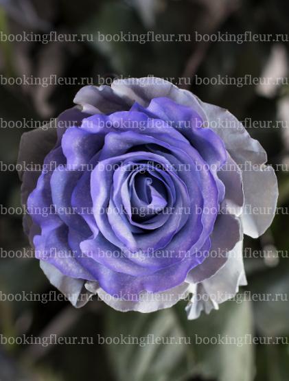 Классическая роза Mondial Blue