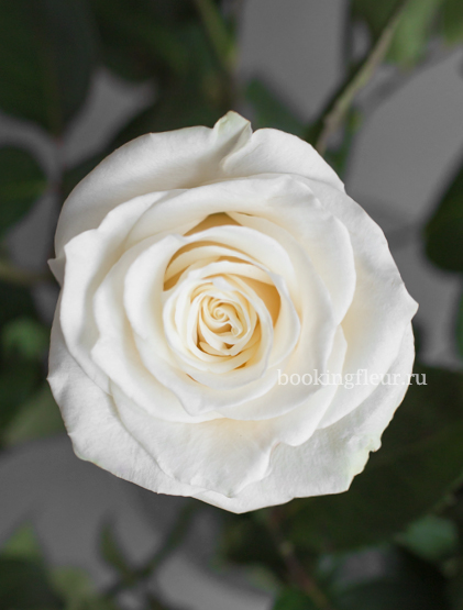 Белая эквадорская роза Mondial