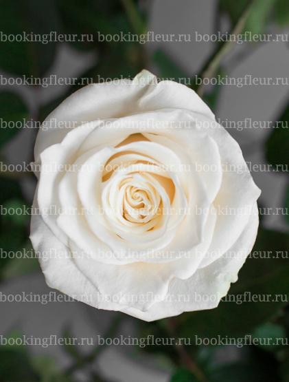 Классическая роза Mondial