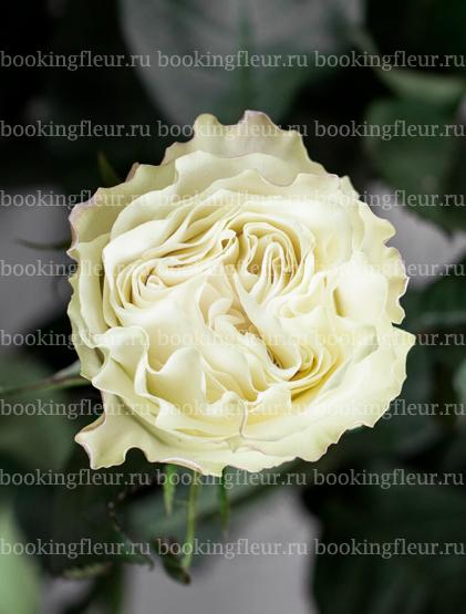 Классическая роза Moonstone