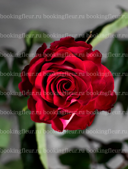 Классическая роза Morena Mia